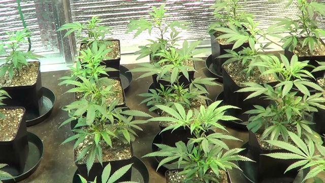 cloning marijuana the complete guide estagecraft. Black Bedroom Furniture Sets. Home Design Ideas